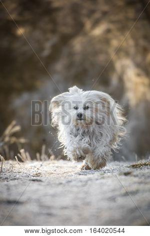 Kleiner weißer Hund rennt schnell über den mit Rauhreif überzogenen Weg.