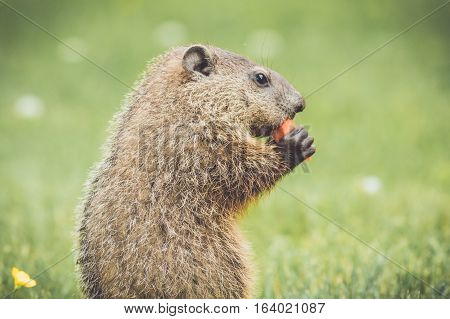 Adorable young groundhog profile in grass and buttercups