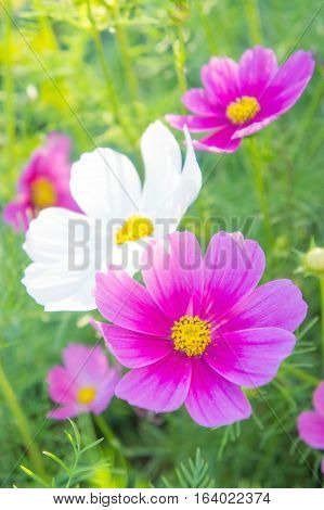 Cosmos flowers in the park Beautiful flowers in the garden colorful day