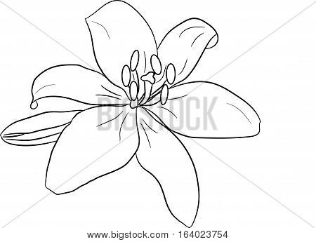 lily, flower, plant, petals, drawing, white background vector image, image