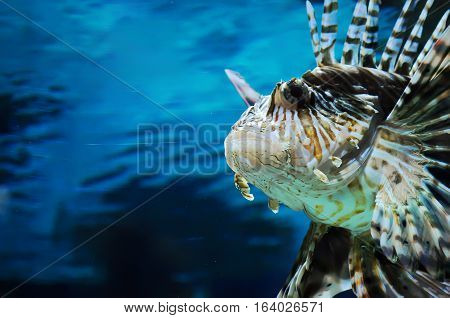 Closeup Of The Face Of Lionfish