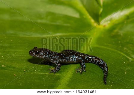 A close up of a young Blue-spotted salamander isolated on a green leaf.