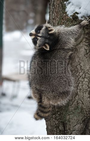 The raccoon with a striped fluffy tail climbs on a tree in winter park