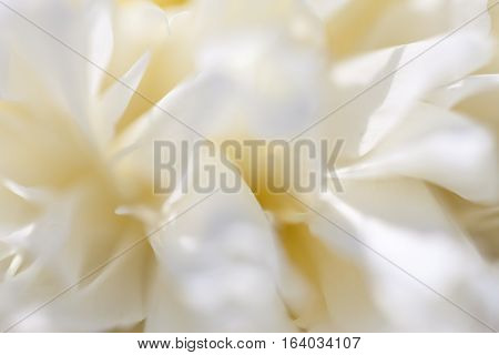 Close up of pale peony flower. Macro photo with shallow depth of field. Abstract natural background.