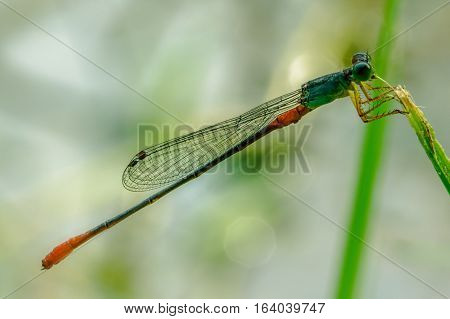 A red tailed damselfly hangs on the leaf. Macro concept.
