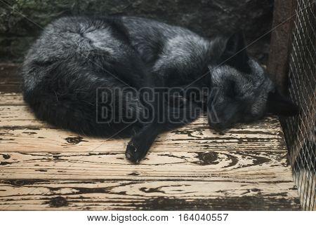 Black-brown Fox Is Sleeping On A Wooden Floor