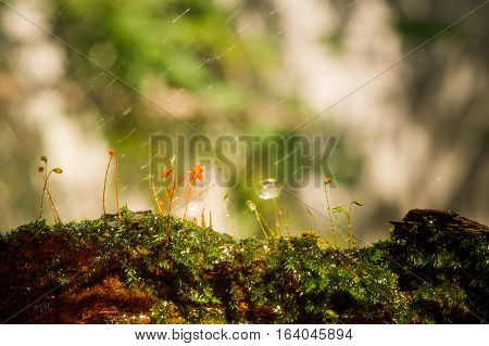 Drops of water on moss with in rainy background