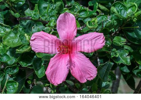 A beautiful hibiscus flower.Hibiscus is Malaysia's national flower where it's locally known as the Bunga Raya