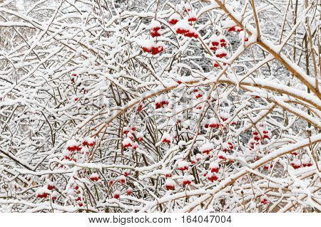 Red Viburnum berries under snow in the winter during a snowfall