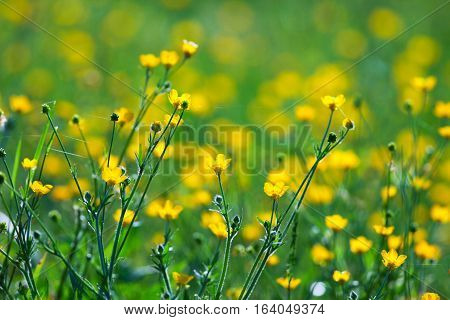Common Buttercup (Ranunculus acris) flowers in a Tennessee during spring