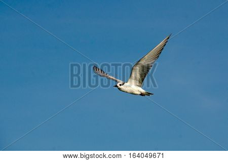 Flying sea bird caught in mid-flight with wings outstretched