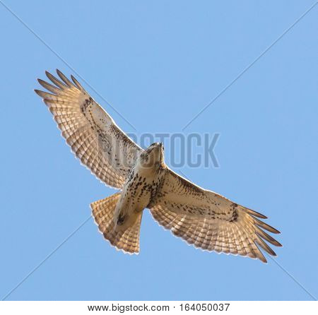 Juvenile Red-tailed Hawk (Buteo jamaicensis) soaring overhead