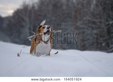 Dog breed Beagle color tri-color a walk in the winter woods runs with a stick in his teeth
