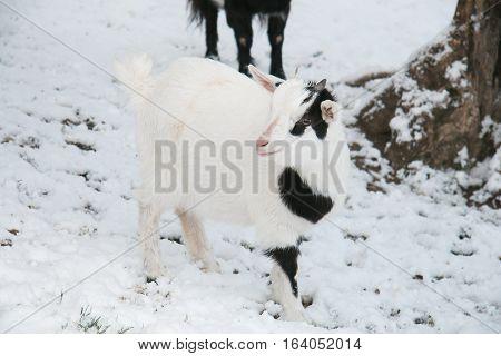 Portrait of baby tibetan dwarf goat in the snow