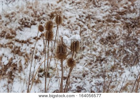 Winter plants dried flowers with layers of snow. Bur in the frost. A wild plant in the snow winter a cold day
