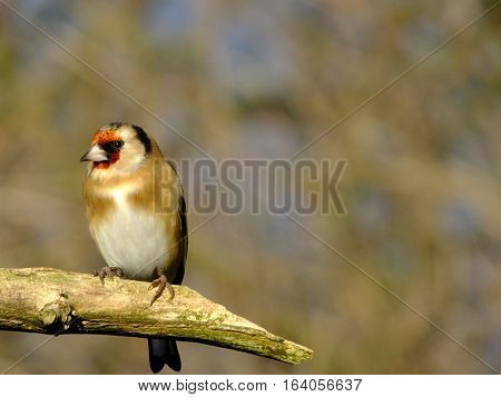 Goldfinch perched on the end of an old branch