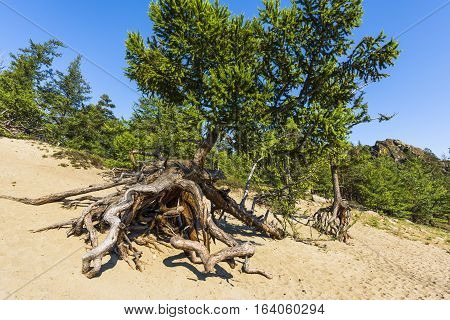 Larch trees with huge aerial roots grow on the sandy shore of the lake Baikal. They are called