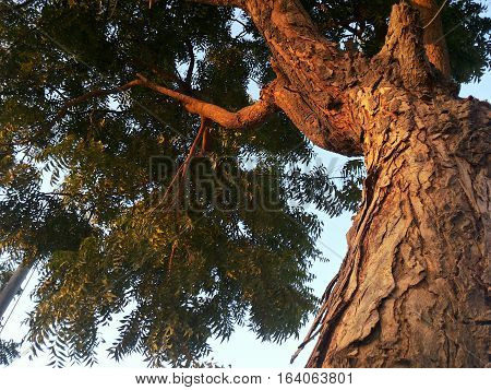 Low angle view of neem tree at sunset.