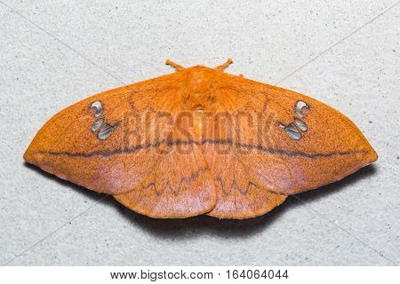Cricula Silkmoth On The Wall