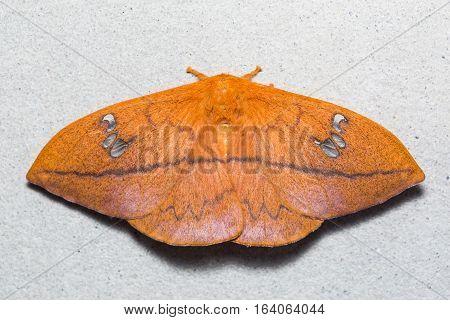 Cricula Silkmoth On The Wall