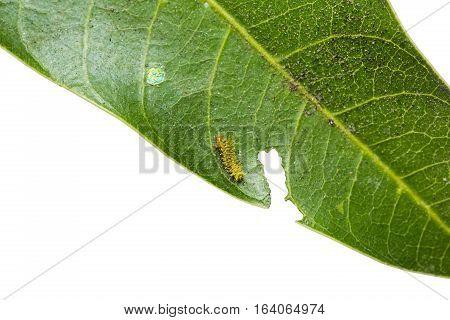 Mango Baron Caterpillar