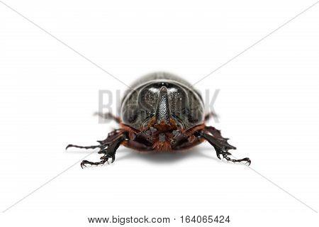 Oryctes Gnu Rhinoceros Beetle