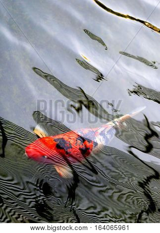 Photos background with red carp in pond