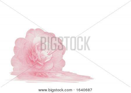 Pretty Pink Camellia