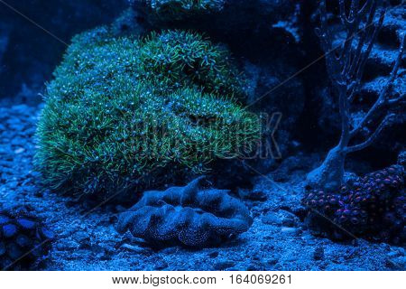 Reef tank, marine aquarium. Tridacna maxima. Clavularia. Clavularia. Zoanthus. Blue aquarium full of plants. Entacmaea quadricolor (Bubble tip anemone, Corn anemone). Night view.