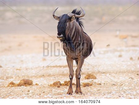 Lone Blue Wildebeest standing on the dry empty plains in Etosha National Park, Namibia, Southern Africa