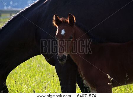 Portrait of a little foal against the background of a mare