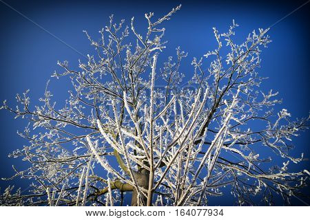 Frozen tree with rime snow winter january