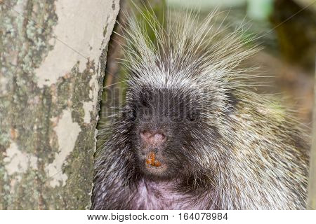 Face Of Porcupine