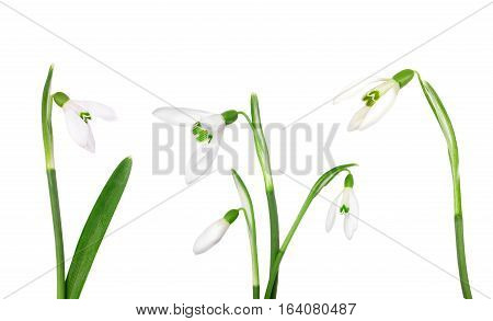 Set beautiful snowdrop spring flower isolated on white background