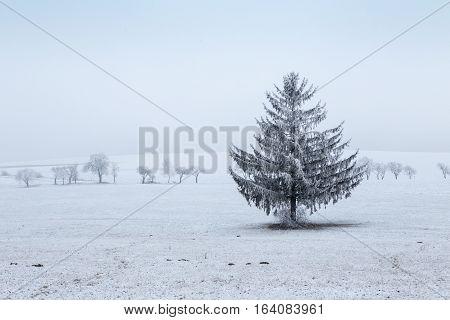 Winter landscape - frosty winter spruce tree on winter field