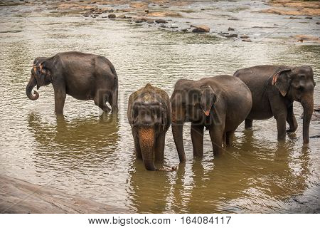 Sri Lanka: group of elephants in drinking and be bathing place, Pinnawala, the largest herd of captive elephants in the world poster