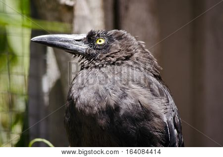 this is a close up of a currawong