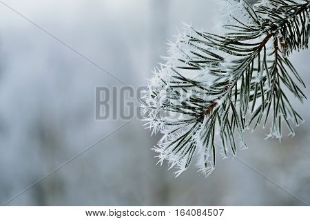 Frozen pine tree branch. Winter icy weather. Cold crystal detail. Silver color tones background.