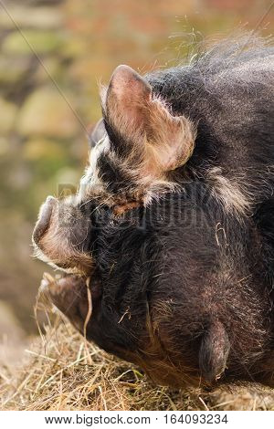 Head of kunekune pig with wattles. An unusual rare breed of small pig showing detail of head