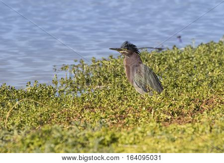 Green Heron with is crown ruffled fishing by the water