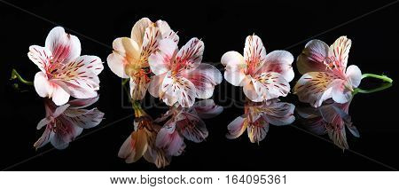 Alstroemeria. Beautiful flowers with reflection on black background