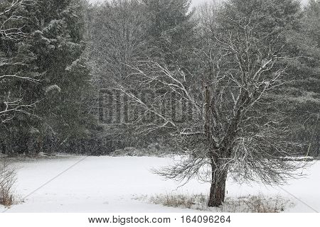 Snow falls and clings to the tree branches on a winter day.