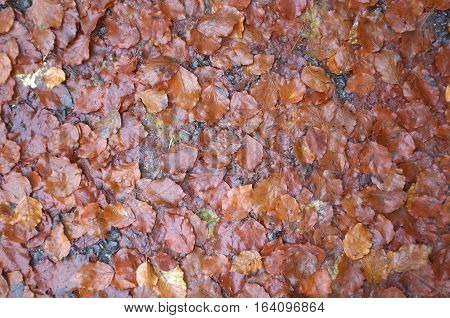 Wet brown leaves on  the floor as background