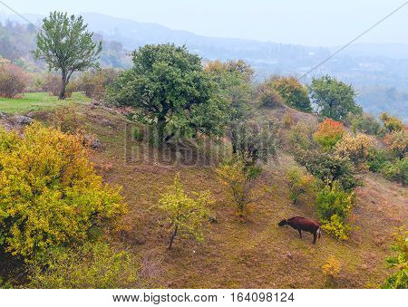 Cow grazing on slopes of the mountain in autumn, meager pastures