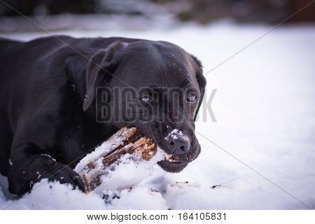 Black Labrador Retriever is playing with the stick in the winter, snow around a dog