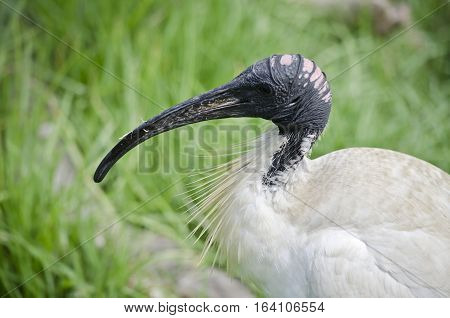 this is a close up of a white ibis