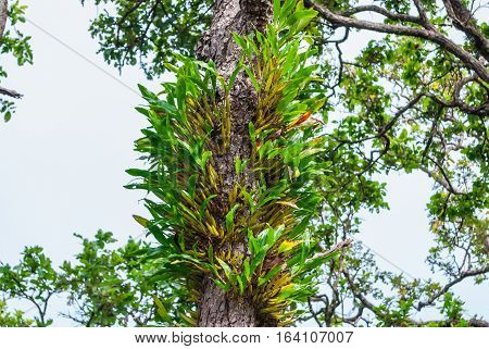 Wild Orchid Growing on Tree [ Dendrobium ]