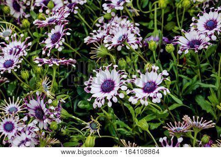 Osteospermum Whirlygig African daisy shaped flower purple white