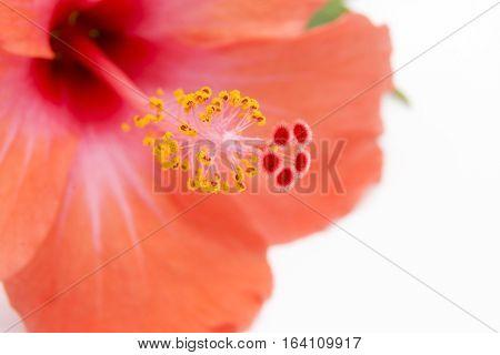 Pistil of  Red Orange Hibiscus on White Background