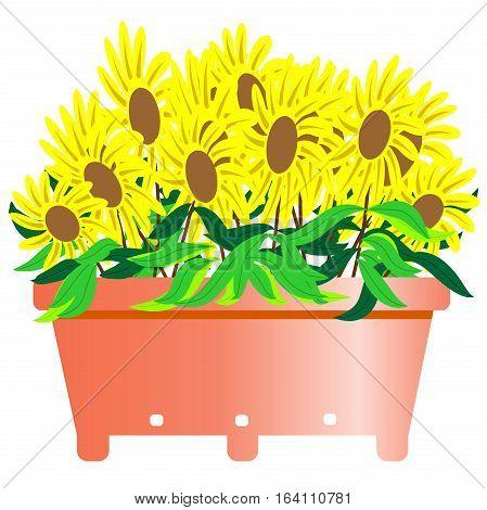 Black Eyed Susan Flower Vector Illustration Isolated on White